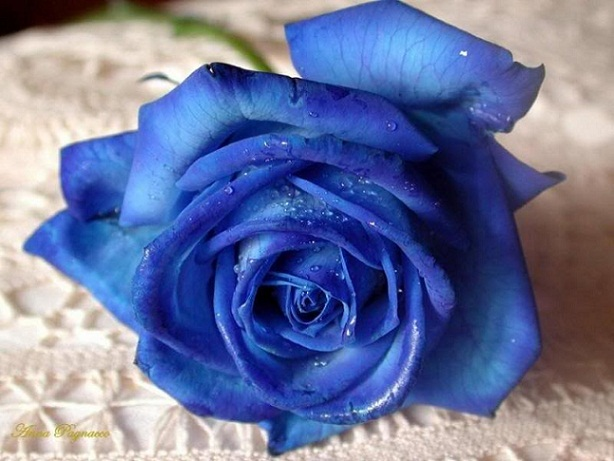 Blue roses Graphics